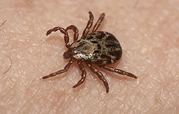 Ticks can carry and spread many different diseases such as Lyme and Rocky Mountain Spotted Fever.